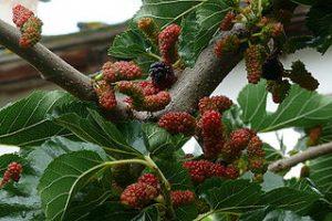 Japanische Maulbeere, Maulbeerbaum mit Früchten